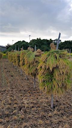 20160909手押し式稲刈り機による稲刈り3