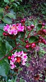 20160909サルスベリの花1