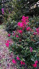 20160909サルスベリの花2