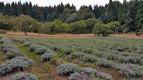 20160909ラベンダー畑の様子