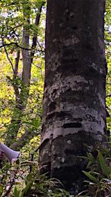 20160911白神の森留山散策ブナの巨木クマの爪跡