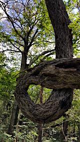 20160911白神の森留山散策つる性植物1