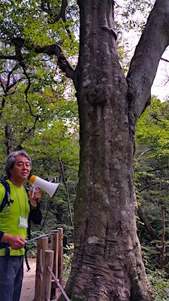 20160911白神の森留山散策樹齢300年のブナの木1