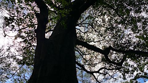 20160911白神の森留山散策樹齢300年のブナの木3