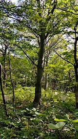 20160911白神の森留山散策ブナの実の落下数観察