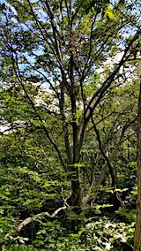 20160911白神の森留山散策ブナの木