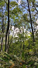 20160911白神の森留山散策色の白いブナの木