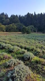 20160915ラベンダーの畑