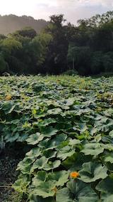 20160915カボチャの畑