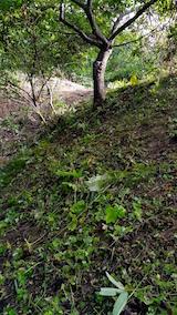 20160915栗の木と草刈り後の様子