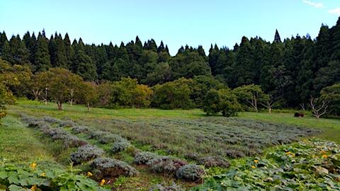 20161001ラベンダー畑の様子
