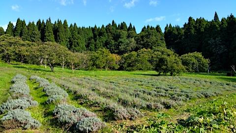 20161007ラベンダー畑の様子