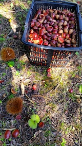 20161027栗の収穫3