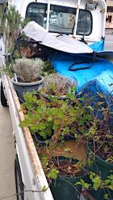 20161202お店横の鉢植え苗の移動