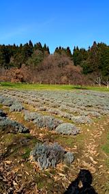 20161204ラベンダーの畑