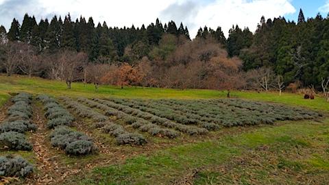 20161205ラベンダー畑の様子