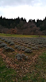20161206ラベンダーの畑