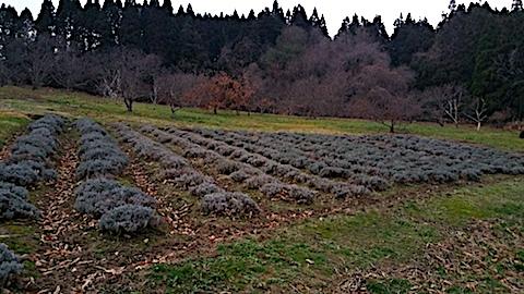 20161206ラベンダー畑の様子