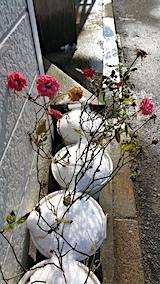 20161207寒さの中咲き続けるバラ