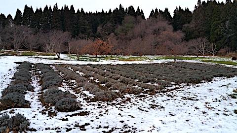 20161207ラベンダー畑の様子1
