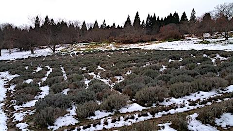 20161207ラベンダー畑の様子2