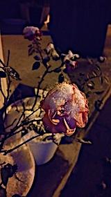 20161208外の様子朝バラの花
