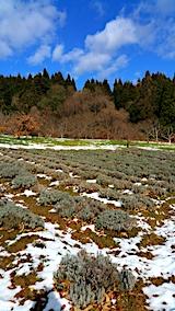 20161208ラベンダーの畑1