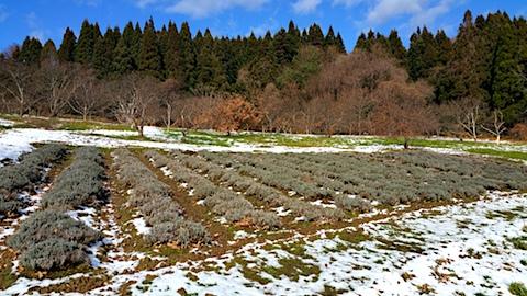 20161208ラベンダー畑の様子