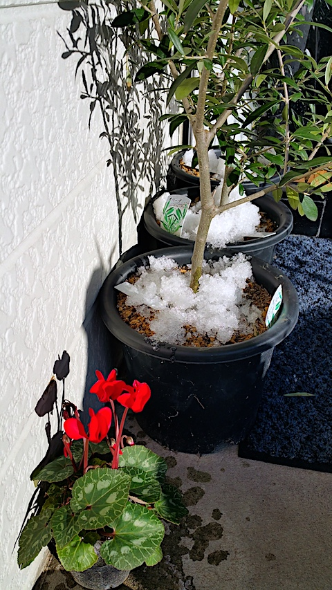 20161208鉢植えに雪を置く