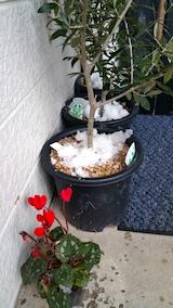 20161214鉢植えに雪のかたまり