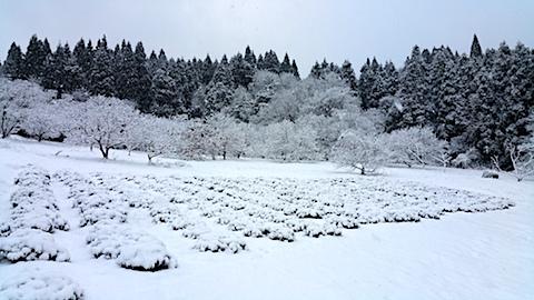 20170110ラベンダー畑の様子