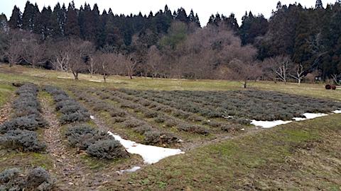 20170321ラベンダー畑の様子2