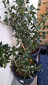 20170323鉢植えのオリーブ