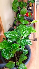 20170323鉢植えのハイビスカス
