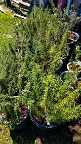 20170414山の入り口の様子ローズマリーの鉢植え