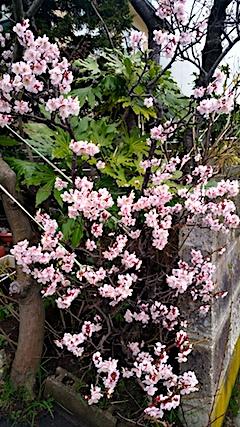 20170415梅の花1