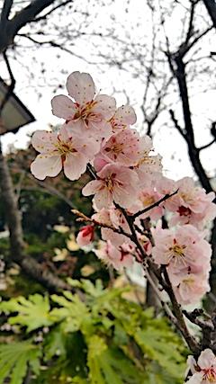20170415梅の花2