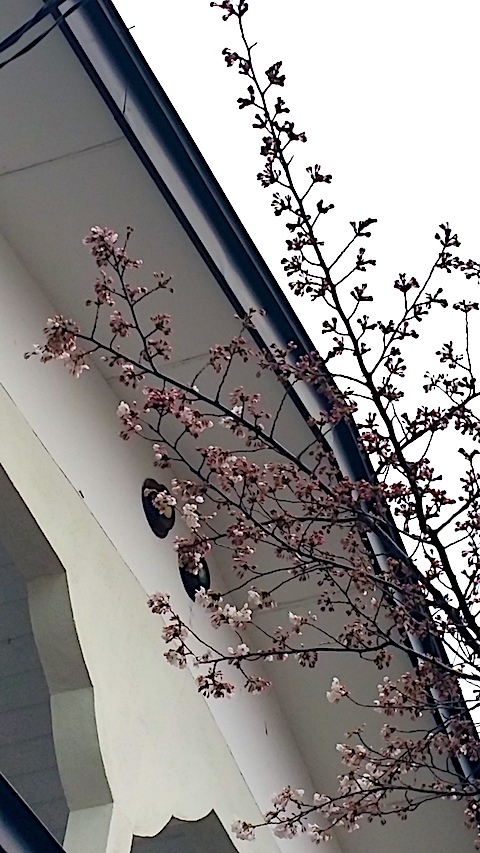20170415さくらの開花
