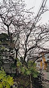 20170415桜の花が開き始める