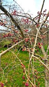 20170416山の様子八重紅枝垂れ桜のつぼみ1