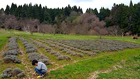 20170416ラベンダー畑の様子