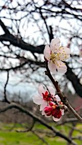 20170416山の様子梅の花