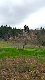 20170416山の様子ラベンダー畑と梅の木