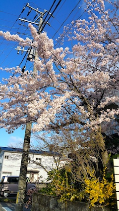 20170420朝近所の桜を楽しむ2