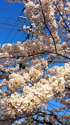 20170420朝近所の桜を楽しむ3