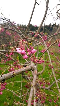 20170420山の様子八重紅枝垂れ桜の開花1