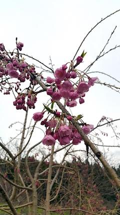 20170420山の様子八重紅枝垂れ桜の開花2