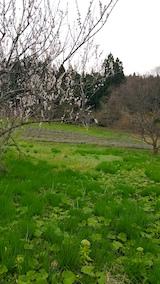 20170420山の様子梅の木とラベンダーの畑