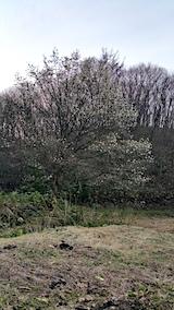 20170420山からの帰り道の様子峠道のコブシの木