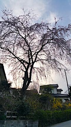 20170420山からの帰り道の様子枝垂れ桜